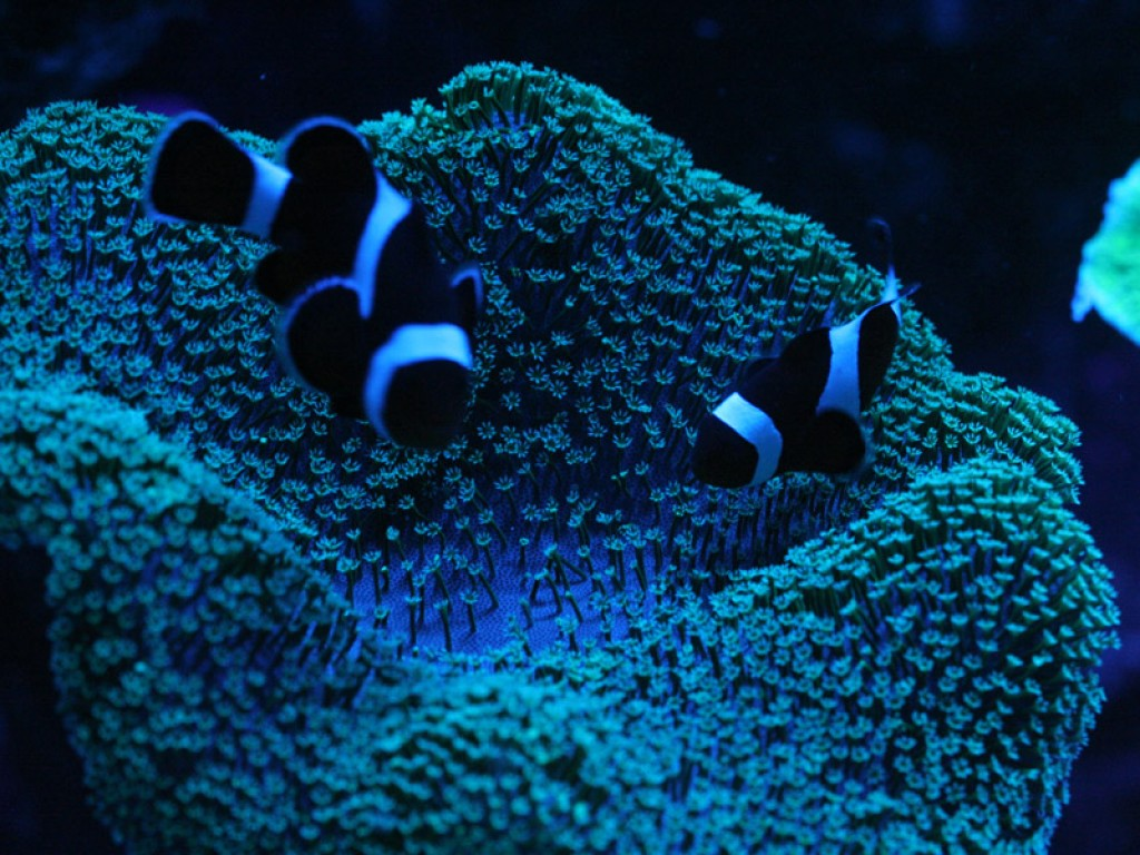 Totm Article How To Wire An Stc1000 Temperature Controller With 2 Heaters Reefing Corals